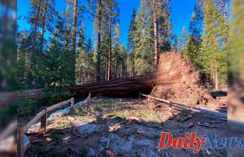 'Mono wind Occasion' topples over a dozen sequoias in Yosemite National Park
