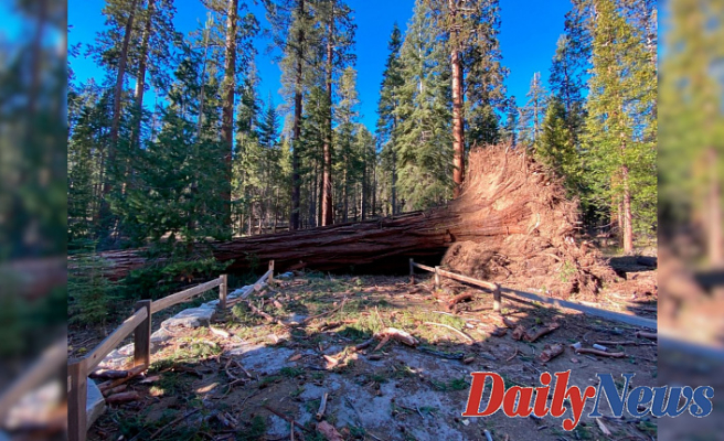 'Mono wind Occasion' topples over a dozen sequoias in Yosemite National Park