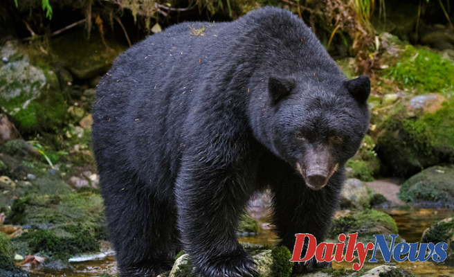Colorado Girl found dead Close home from Obvious bear attack, wildlife officials say