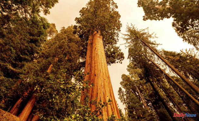 California wildfires are heading for giant sequoia trees