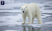 Climate change: polar bears could become extinct by 2100