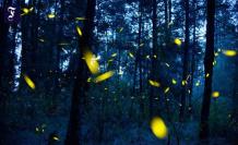 Light pollution: obtrusive light for fireflies