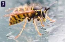What helps against the bites: it's really become more wasps?