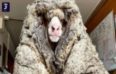 Couldn't move anymore: Felting sheep of more than 35 pounds of wool freed