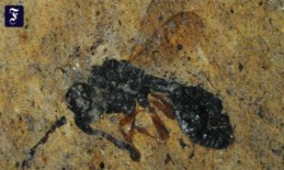 Messel pit fossil site: a rare Fossil of a parasitic...