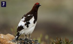 Red grouse: To white for the Winter