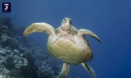 Verpeilte sea turtles: single-mindedly in the wrong...
